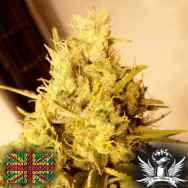 Connoisseur Genetics Seeds Lemon N Lime Jones