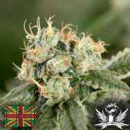 Connoisseur Genetics Seeds OG Chem Haze
