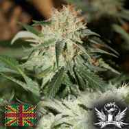 Connoisseur Genetics Seeds Strawberries and Cream