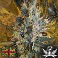 Connoisseur Genetics Seeds Super Silver Sour Diesel Haze