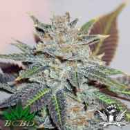 BC Bud Depot Seeds Night Nurse