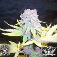 CannaVenture Seeds Purple Berry BX