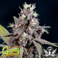 Gooeybreeder Seeds Purple Mayhem