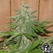 Reeferman Seeds Cherry Haze