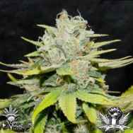 CannaVenture Seeds Road Kill Skunk