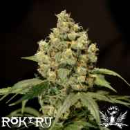 Rokerij Seeds Jack Herer