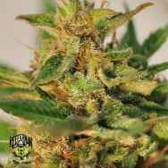 Reeferman Seeds CBD Willie