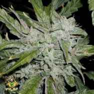 Reeferman Seeds China White