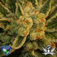 T H Seeds Original BubbleGum