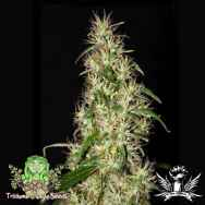 Trichome Jungle Seeds So High Sativa