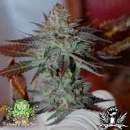 Trichome Jungle Seeds Lurry Smurf