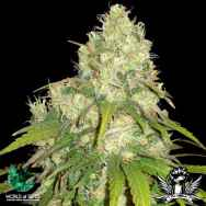 World of Seeds Medical Collection Afghan Kush x Yumbolt