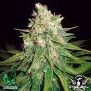 World of Seeds Medical Collection Mazar X Great White Shark