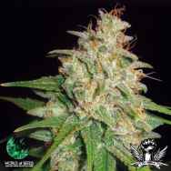 World of Seeds Medical Collection Mazar x White Rhino