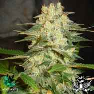 World of Seeds AUTO Collection Afghan Kush Ryder