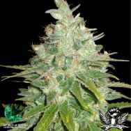 World of Seeds Medical Collection Afghan Kush x Black Domina