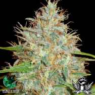 World of Seeds Medical Collection Afghan Kush x Skunk