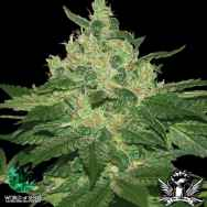 World of Seeds Pure Origin Collection Afghan Kush