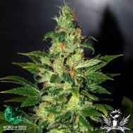 World of Seeds Legend Collection Chronic Haze
