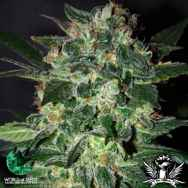World of Seeds Legend Collection Domina Star