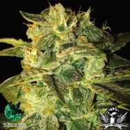 World of Seeds AUTO Collection Sugar Mango Ryder