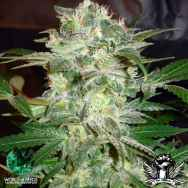 World of Seeds Legend Collection Mazar Kush