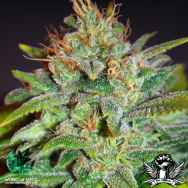 World of Seeds Legend Collection Skunk 47