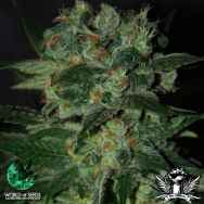 World of Seeds Diamond Line Stoned Immaculate
