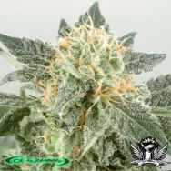 De Sjamaan Seeds Widow Ryder